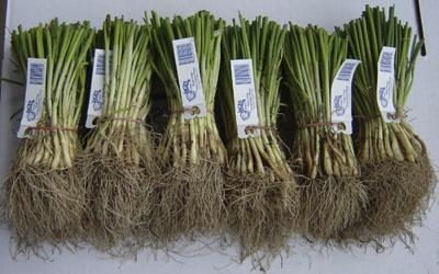 sweet-onion6